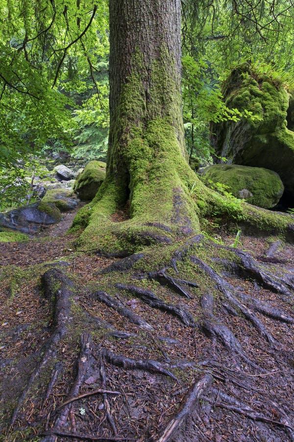 Υγρός κορμός δέντρων και πράσινο βρύο στη δασική κινηματογράφηση σε πρώτο πλάνο στοκ εικόνες με δικαίωμα ελεύθερης χρήσης