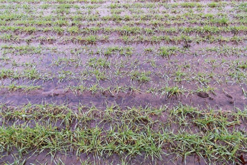 Υγρός πράσινος τομέας σιταριού αγροτών στοκ εικόνα
