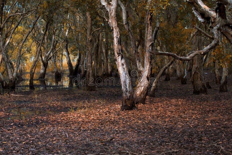 Υγρότοπος δέντρων Melaleuca σε Rayong στοκ εικόνες