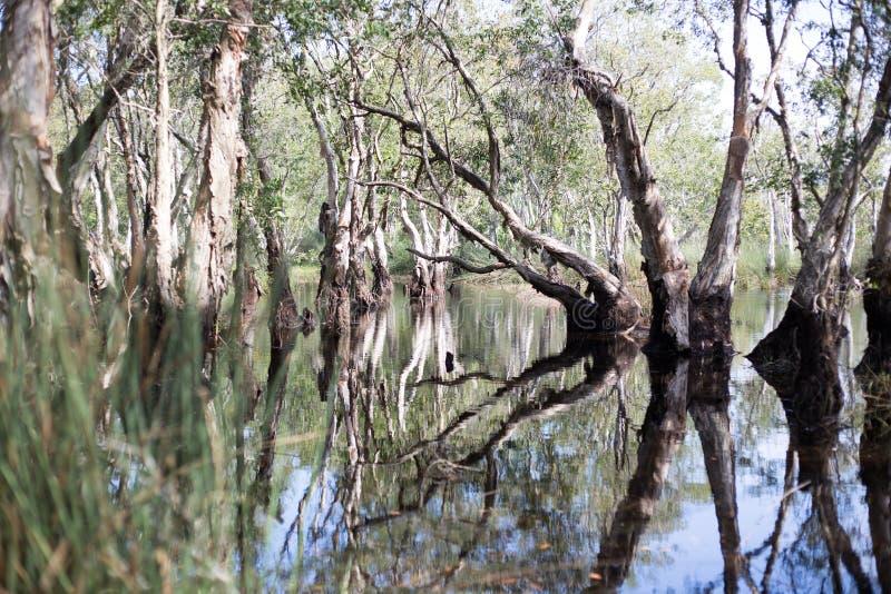 Υγρότοπος δέντρων Melaleuca στοκ εικόνα