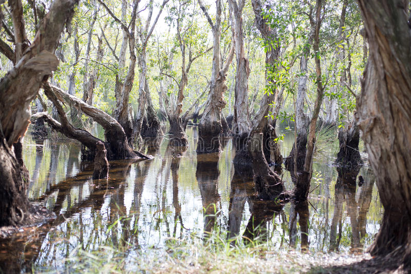 Υγρότοπος δέντρων Melaleuca στοκ φωτογραφία με δικαίωμα ελεύθερης χρήσης