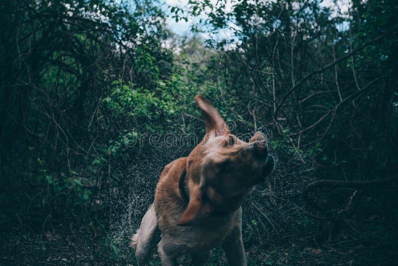 Υγρό τίναγμα σκυλιών στο δάσος στοκ εικόνα με δικαίωμα ελεύθερης χρήσης