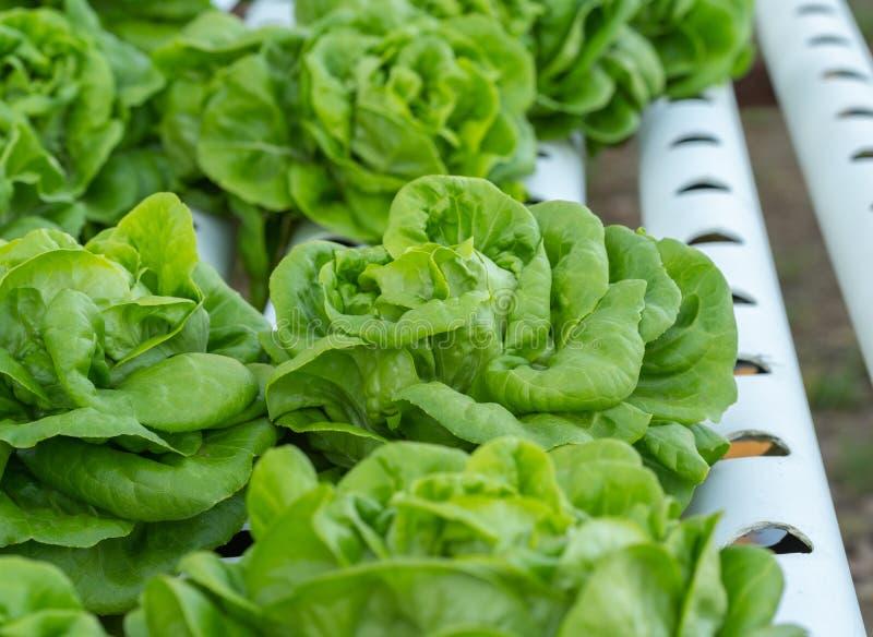 Υδροπονική φυτική καλλιέργεια μαρουλιού Butterhead στοκ εικόνα