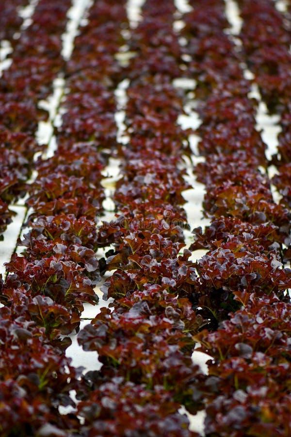 Υδροπονικό μαρούλι που καλλιεργεί άσπρο styrofoam στοκ εικόνες