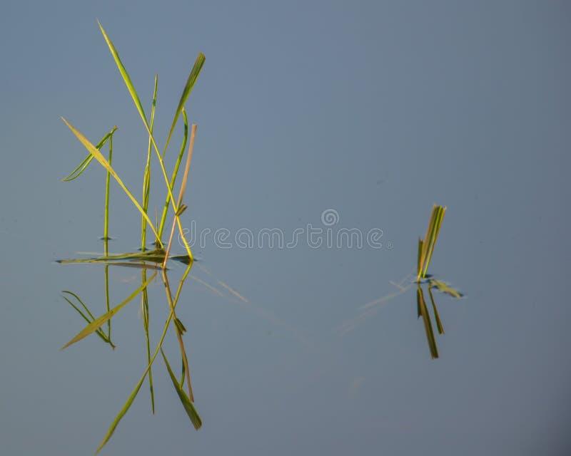 υδρόβιες χλόες υγρότοπου με την αντανάκλαση σε μια ειρηνική λίμνη στην περιοχή άγριας φύσης λιβαδιών Crex στο βόρειο Ουισκόνσιν στοκ φωτογραφία