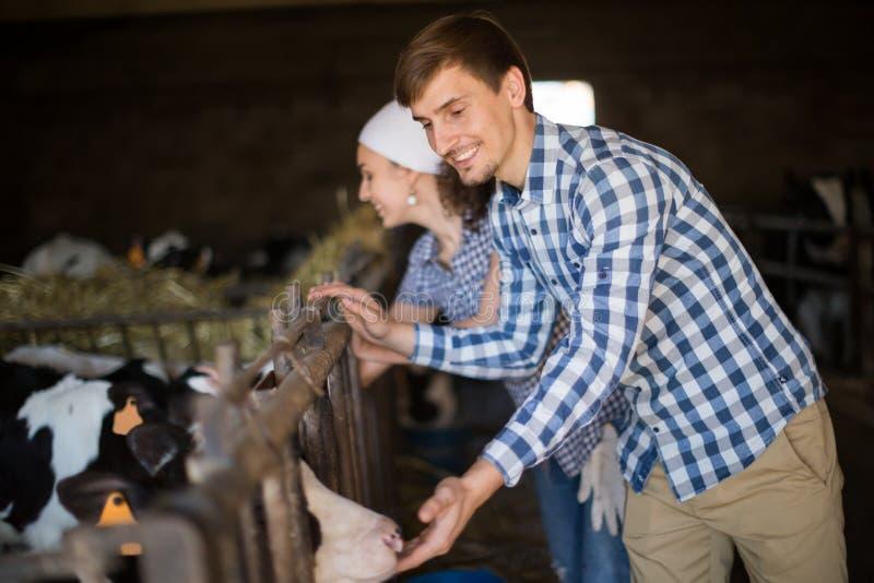 Υπάλληλος ζεύγους με τα γαλακτοκομικά βοοειδή στο αγρόκτημα ζωικού κεφαλαίου στοκ εικόνα