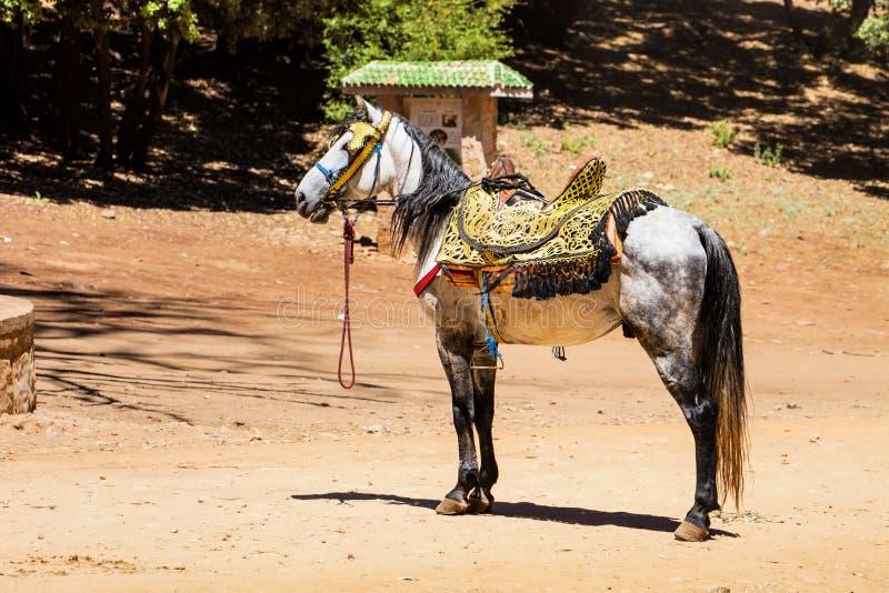 Υπέροχα ντυμένο αραβικό άλογο, Μαρόκο στοκ εικόνα με δικαίωμα ελεύθερης χρήσης