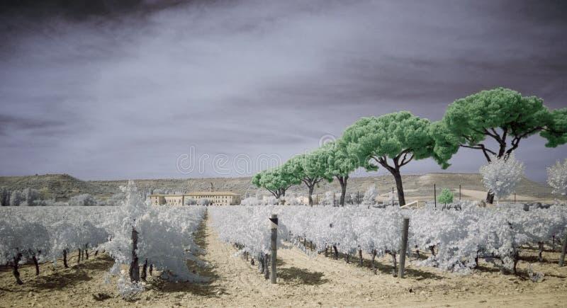 υπέρυθρος αγροτικός αμπελώνας στοκ εικόνες