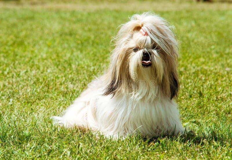 Υπαίθριο πορτρέτο σκυλιών Tzu Shih στοκ φωτογραφία με δικαίωμα ελεύθερης χρήσης