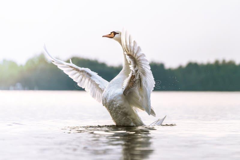 Υπερήφανος κύκνος σε μια λίμνη στοκ φωτογραφία με δικαίωμα ελεύθερης χρήσης