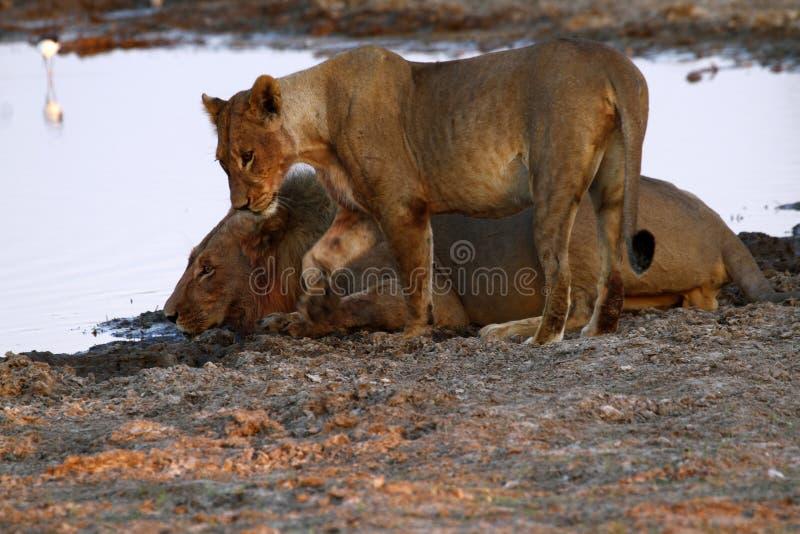 Υπερηφάνεια της Αφρικής το βασιλοπρεπές λιοντάρι στοκ εικόνα