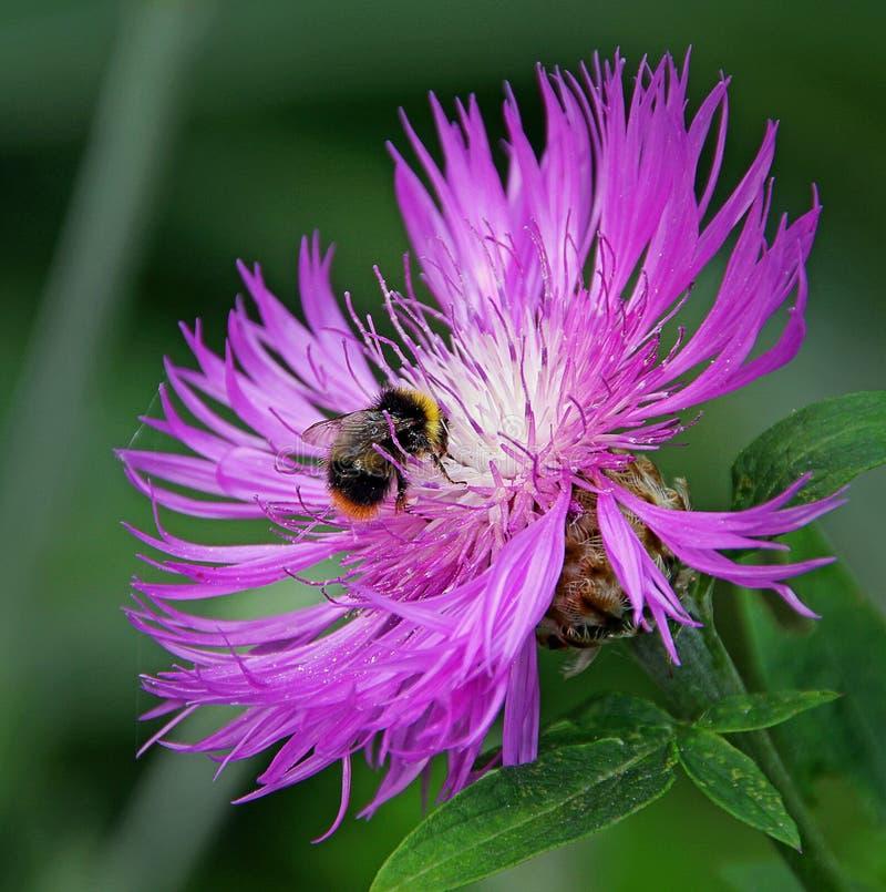 Υπεριώδης κόσμος μιας bumble μέλισσας στοκ φωτογραφία