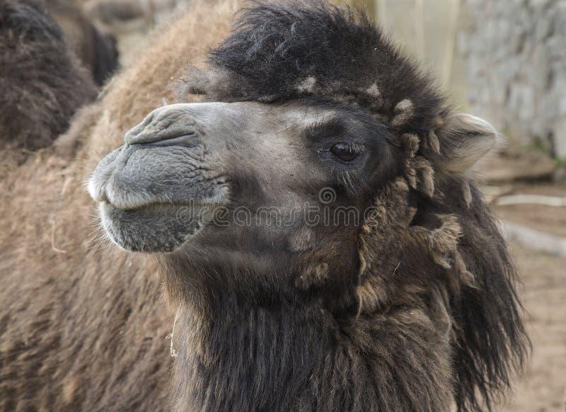 Υπεροπτική καμήλα στοκ φωτογραφία