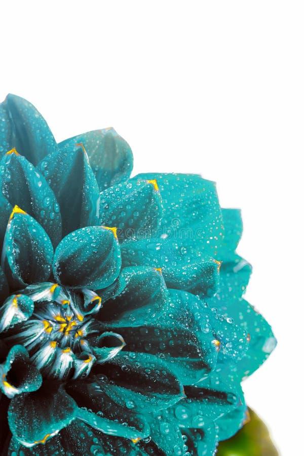 Υπερφυσική σκοτεινή ντάλια λουλουδιών χρωμίου μπλε με τις πτώσεις του νερού, μακροεντολή τοποθετήστε το κείμενο στοκ εικόνες