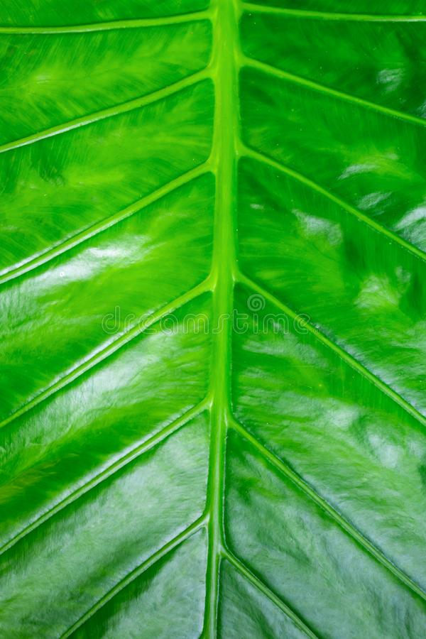 Υποβάθρου πράσινο φωτεινό ηλιόλουστο βάσεων φύλλο μπανανών σχεδίου υποστρωμάτων eco σύστασης σχεδίου κάθετο στοκ φωτογραφίες με δικαίωμα ελεύθερης χρήσης