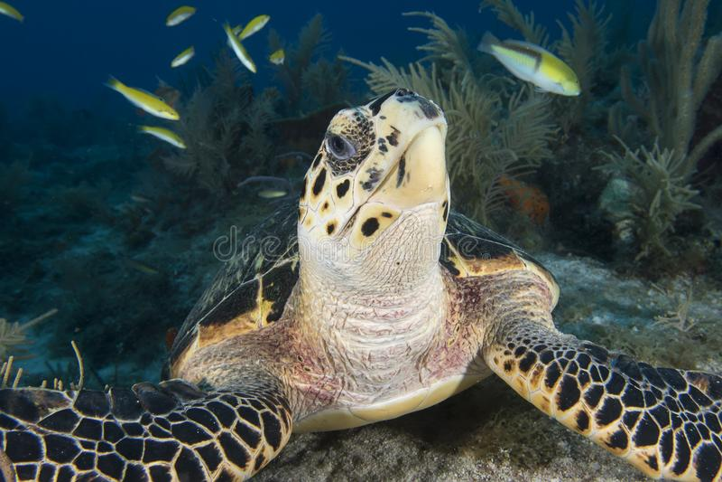 Υποβρύχια εικόνα του προσώπου χελωνών θάλασσας στοκ φωτογραφίες