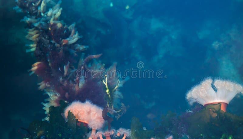 Υποβρύχια ζωή, νορβηγικό υπόβαθρο θάλασσας στοκ εικόνες με δικαίωμα ελεύθερης χρήσης