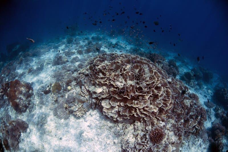 Υποβρύχια ζωή στο νησί Sipadan σκοπέλων στοκ εικόνες