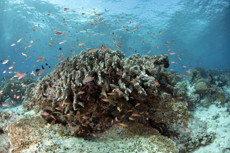 Υποβρύχια σκηνή ζωής Celebes της θάλασσας στοκ εικόνα με δικαίωμα ελεύθερης χρήσης