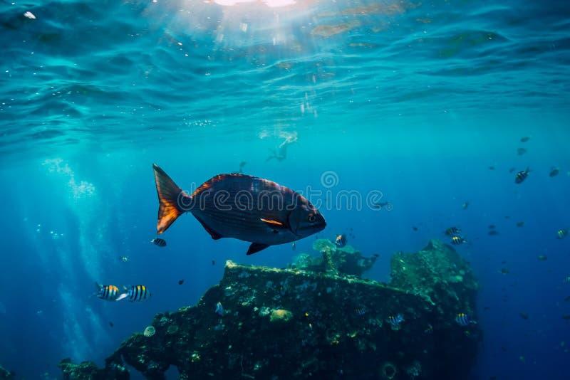 Υποβρύχιος κόσμος με τα τροπικά ψάρια και συντρίμμια ελευθερίας USS στο Μπαλί στοκ εικόνα
