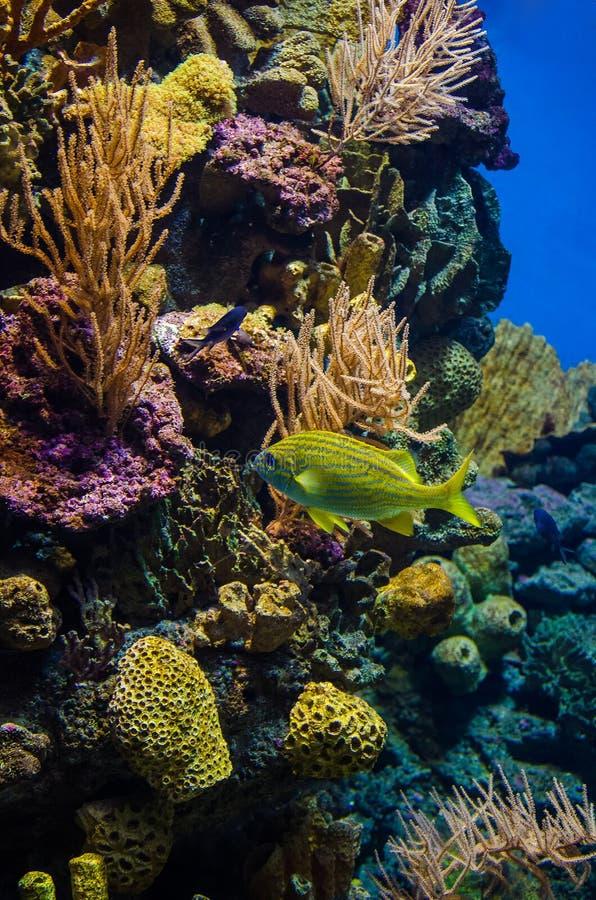 Υποβρύχιος κόσμος των Καραϊβικών Θαλασσών στοκ εικόνες με δικαίωμα ελεύθερης χρήσης