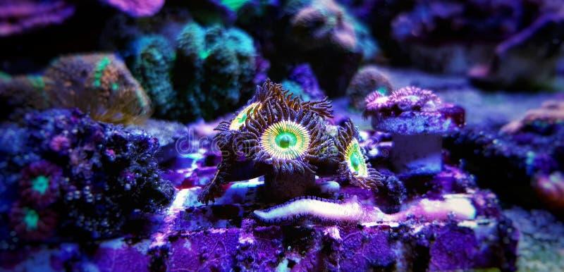 Υποβρύχιος μακρο πυροβολισμός στο ηλιόλουστο μαλακό κοράλλι αποικιών Δ Zoanthus polyps στη δεξαμενή ενυδρείων σκοπέλων στοκ φωτογραφίες με δικαίωμα ελεύθερης χρήσης