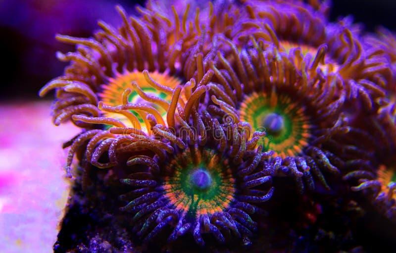Υποβρύχιος μακρο πυροβολισμός στο ηλιόλουστο μαλακό κοράλλι αποικιών Δ Zoanthus polyps στη δεξαμενή ενυδρείων σκοπέλων στοκ εικόνα με δικαίωμα ελεύθερης χρήσης