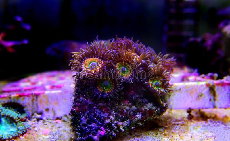 Υποβρύχιος μακρο πυροβολισμός στο ηλιόλουστο μαλακό κοράλλι αποικιών Δ Zoanthus polyps στη δεξαμενή ενυδρείων σκοπέλων στοκ φωτογραφία με δικαίωμα ελεύθερης χρήσης