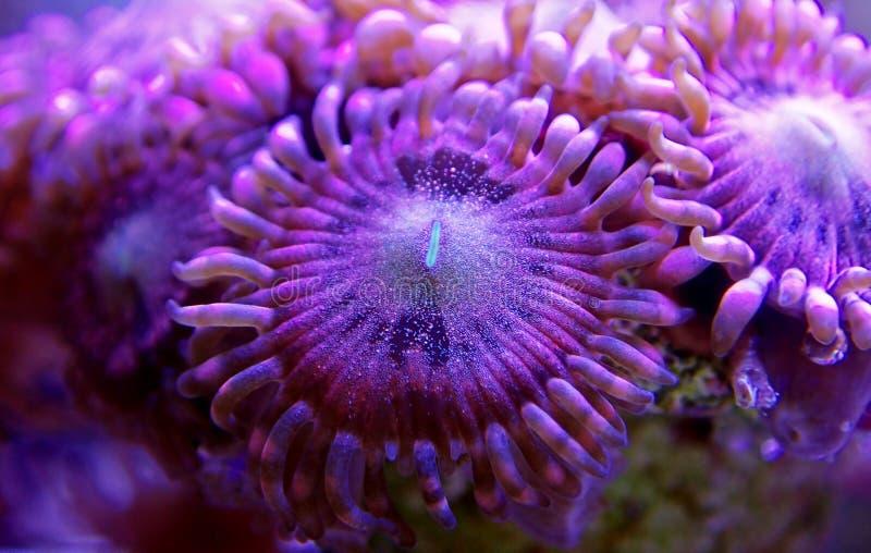 Υποβρύχιος μακρο πυροβολισμός στο μαλακό κοράλλι αποικιών Zoanthus αισθήσεων μαγείας polyps στη δεξαμενή ενυδρείων σκοπέλων στοκ φωτογραφία με δικαίωμα ελεύθερης χρήσης