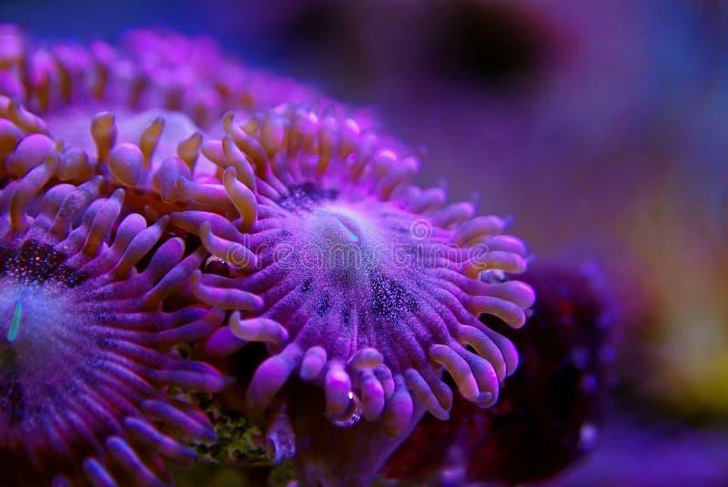 Υποβρύχιος μακρο πυροβολισμός στο μαλακό κοράλλι αποικιών Zoanthus αισθήσεων μαγείας polyps στη δεξαμενή ενυδρείων σκοπέλων στοκ φωτογραφίες