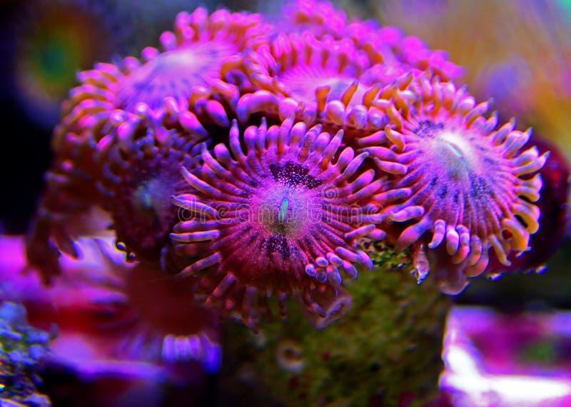 Υποβρύχιος μακρο πυροβολισμός στο μαλακό κοράλλι αποικιών Zoanthus αισθήσεων μαγείας polyps στη δεξαμενή ενυδρείων σκοπέλων στοκ εικόνες