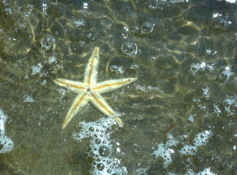 υποβρύχιος μεγάλος αστερίας ακροθαλασσιών στην παραλία στοκ εικόνες με δικαίωμα ελεύθερης χρήσης