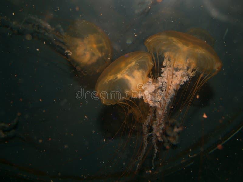 Υποβρύχιο ζεύγος μεδουσών στοκ φωτογραφίες με δικαίωμα ελεύθερης χρήσης