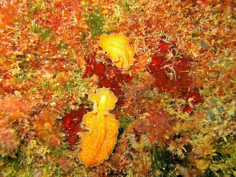 Download Υποβρύχιο θαλάσσιο Aurantiaca Yungia ζωής Flatworm Στοκ Εικόνα - εικόνα από ναυτικό, wildlife: 62715053