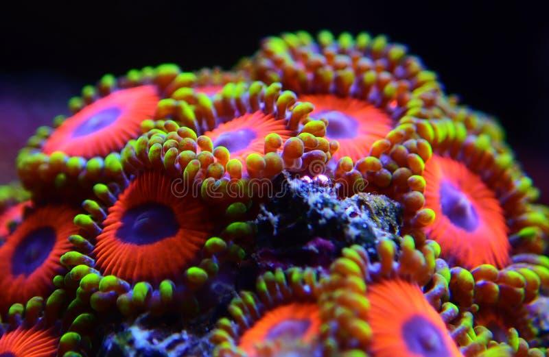 Υποβρύχιο μακρο πυροβοληθε'ν μαλακό κοράλλι αποικιών Zoanthus polyps στη δεξαμενή ενυδρείων σκοπέλων στοκ εικόνες