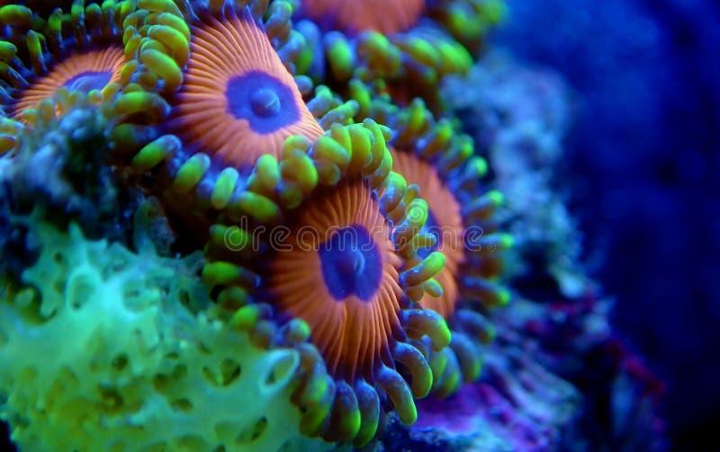Υποβρύχιο μακρο πυροβοληθε'ν μαλακό κοράλλι αποικιών Zoanthus polyps στη δεξαμενή ενυδρείων σκοπέλων στοκ φωτογραφία με δικαίωμα ελεύθερης χρήσης