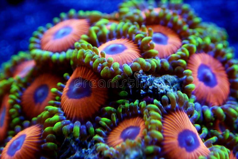 Υποβρύχιο μακρο πυροβοληθε'ν μαλακό κοράλλι αποικιών Zoanthus polyps στη δεξαμενή ενυδρείων σκοπέλων στοκ εικόνες με δικαίωμα ελεύθερης χρήσης