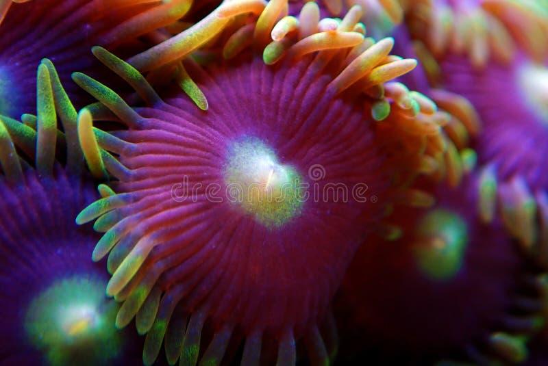 Υποβρύχιο μακρο πυροβοληθε'ν μαλακό κοράλλι αποικιών Zoanthus polyps στη δεξαμενή ενυδρείων σκοπέλων στοκ φωτογραφίες