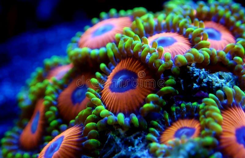 Υποβρύχιο μακρο πυροβοληθε'ν μαλακό κοράλλι αποικιών Zoanthus polyps στη δεξαμενή ενυδρείων σκοπέλων στοκ φωτογραφία