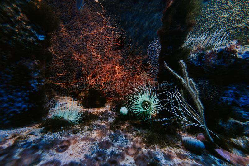 Υποβρύχιο τοπίο στο ενυδρείο με τη θάλασσα anemones, ωκεανογραφικό μουσείο του Μονακό στοκ εικόνα