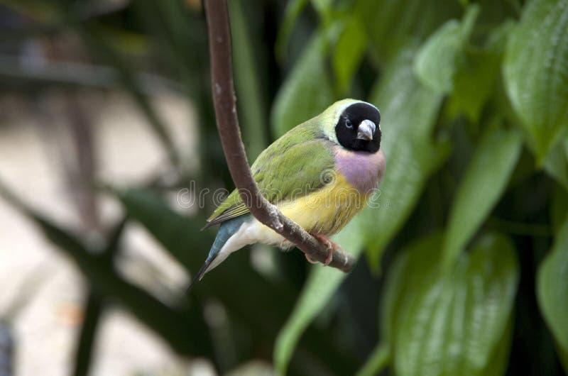 Υποτροπικό πουλί κήπων στοκ φωτογραφίες με δικαίωμα ελεύθερης χρήσης