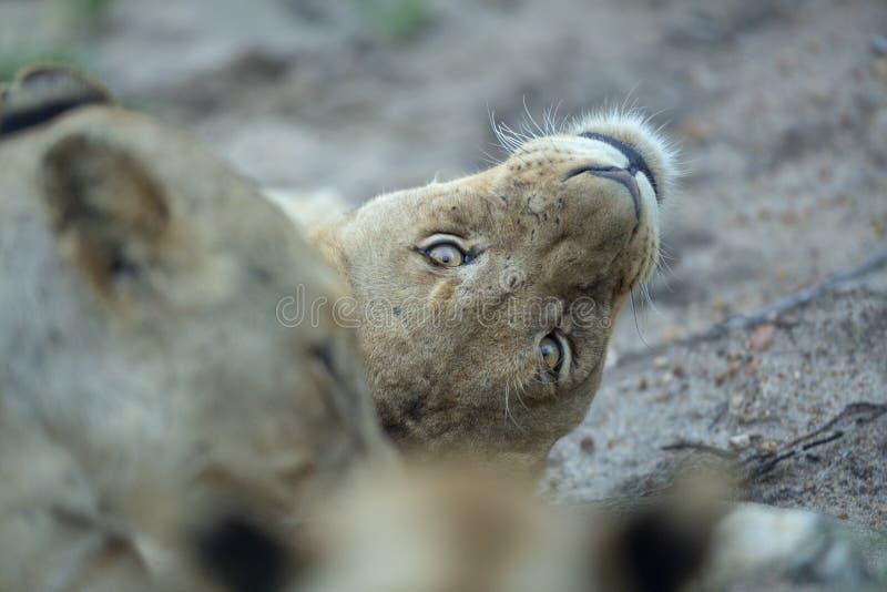 Υπο- ενήλικη να κοιτάξει επίμονα λιονταριών άνω πλευρά - κάτω στοκ φωτογραφίες με δικαίωμα ελεύθερης χρήσης