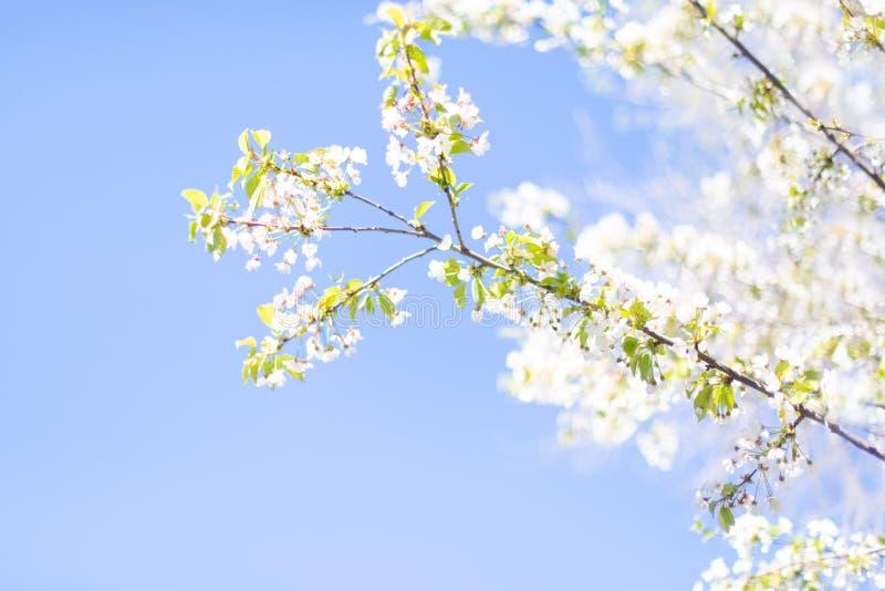 Υπόβαθρο άνοιξη με το άσπρο άνθος και πράσινα φύλλα δέντρων πέρα από το μπλε ουρανό Ταπετσαρία άνοιξης στοκ φωτογραφία με δικαίωμα ελεύθερης χρήσης