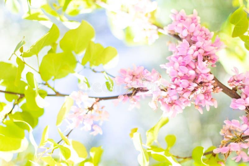 Υπόβαθρο άνοιξη με το ρόδινο άνθος και τα πράσινα φύλλα δέντρων Φυσικός ανθίζοντας κλάδος στην άνοιξη στοκ εικόνες με δικαίωμα ελεύθερης χρήσης