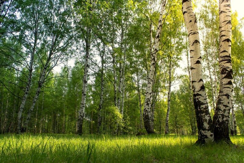 Υπόβαθρο αλσών σημύδων Ανατολή πρωινού στο υπόβαθρο σημύδων forestSummer στοκ εικόνες με δικαίωμα ελεύθερης χρήσης