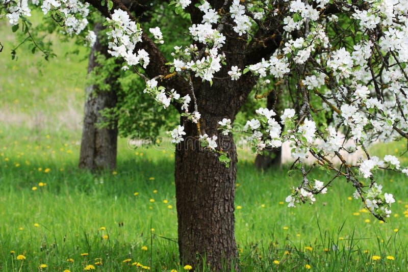 Υπόβαθρο ανθών άνοιξη Όμορφη σκηνή φύσης με το ανθίζοντας δέντρο από το μήλο στοκ εικόνα
