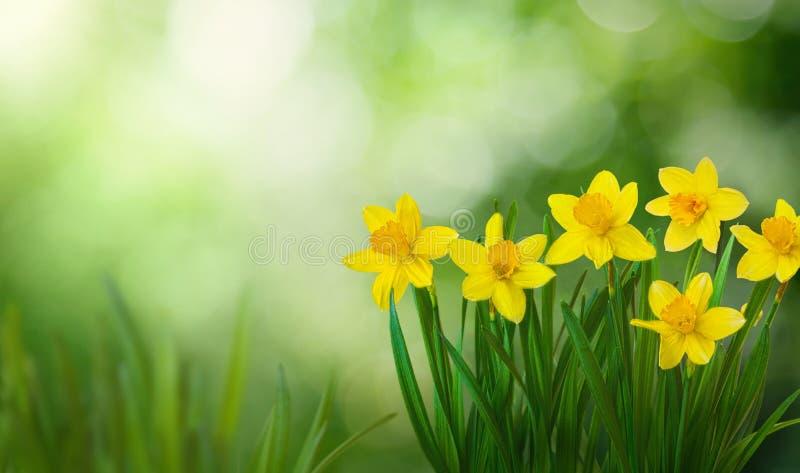Υπόβαθρο ανοίξεων φύσης με τα ανθίζοντας daffodil λουλούδια στοκ φωτογραφία με δικαίωμα ελεύθερης χρήσης