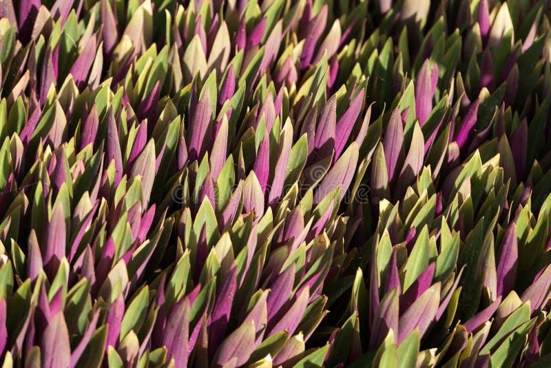 υπόβαθρο από στα πράσινα πορφυρά φύλλα στοκ φωτογραφία