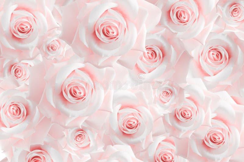 Υπόβαθρο από την ποικιλία των ρόδινων μπουμπουκιών τριαντάφυλλου ταπετσαρία Σκιές κρητιδογραφιών στοκ φωτογραφία με δικαίωμα ελεύθερης χρήσης