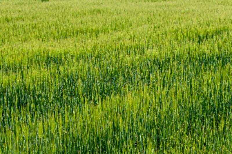 Υπόβαθρο από το τεμάχιο του τομέα με το νέο πράσινο σίτο στοκ φωτογραφία με δικαίωμα ελεύθερης χρήσης